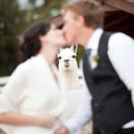 llama-wedding-photo