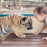 baby tigers | thailand