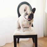 french-bulldog-photo
