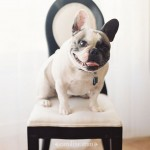 pet photography | french bulldog bruno